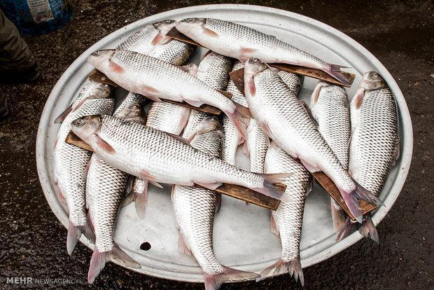 کوشش می کنیم ماهی از سفره خانوارهای شهری حذف نشود