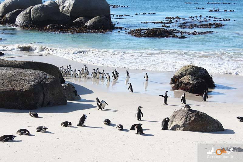 ساحل بولدرز؛ تنها سکونتگاه ساحلی پنگوئن های آفریقایی، عکس