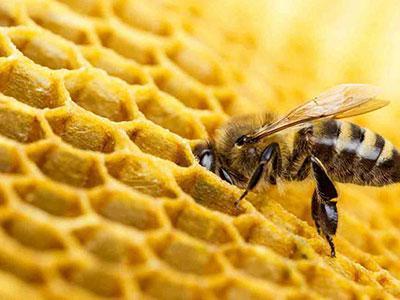 کاهش شدید زنبور های عسل در آفریقای جنوبی